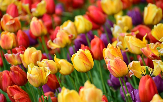 Wallpaper Colorful tulips, water drops