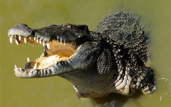 Papéis de Parede Crocodilo, boca grande, água