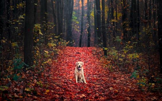 Papéis de Parede Cão no outono, floresta, folhas de maple vermelho chão