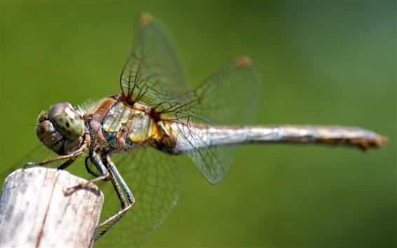 Fond d'écran Libellule, insectes, photographie macro