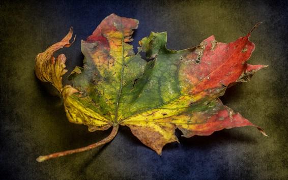 Wallpaper Dry maple leaf, colors
