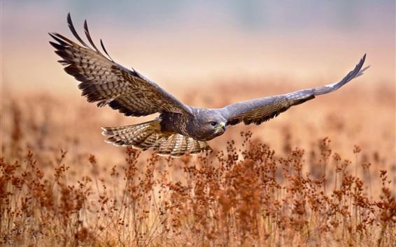 Papéis de Parede Eagle voo, asas, grama