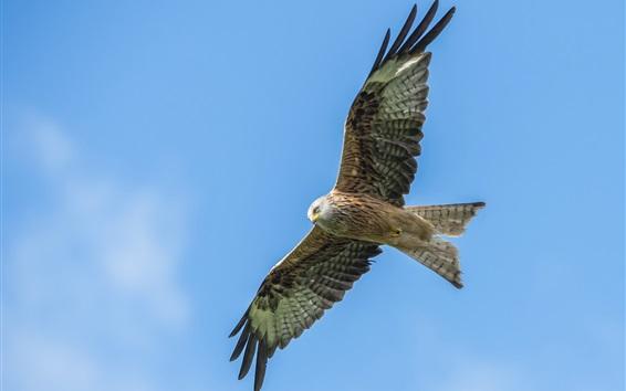 Papéis de Parede Águia voando, asas, céu azul