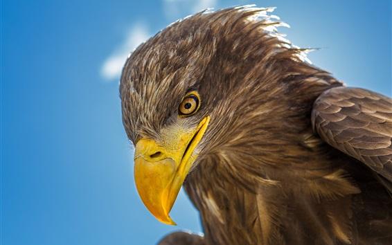 Wallpaper Eagle head close-up, beak, eye
