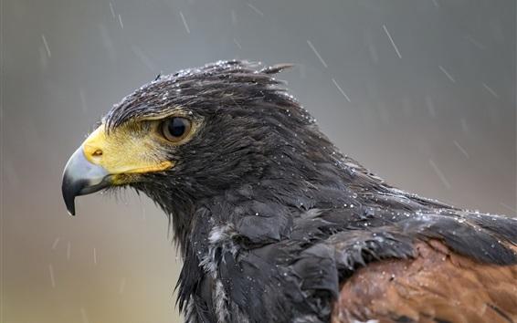 Papéis de Parede Águia na chuva