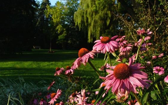 Fond d'écran Echinacea fleurs, jardin