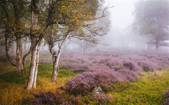 Wallpaper England, Heather, Derbyshire, birch forest, wildflowers, fog, autumn