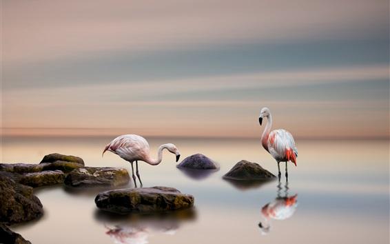 배경 화면 플라밍고, 조류, 호수, 돌