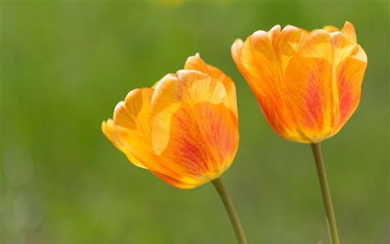 Flower close-up, orange tulips Wallpaper Preview