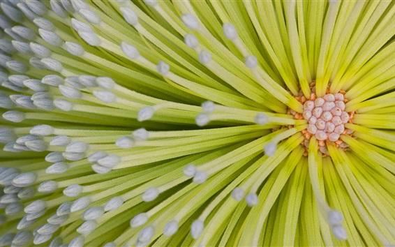Fondos de pantalla Flor pistil macro fotografía, verde