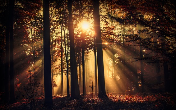 Wallpaper Forest, morning, sun rays, trees