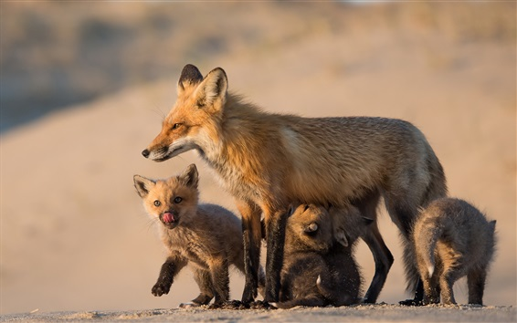 Wallpaper Foxes, family, mom and cubs