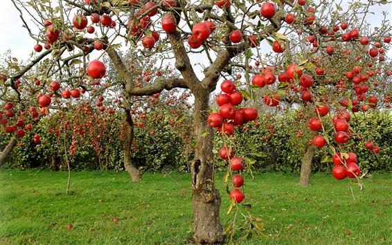 Wallpaper Fruit garden, red apples, trees, harvest