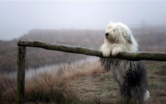 Papéis de Parede Cão branco peludo, cerca, grama, natureza