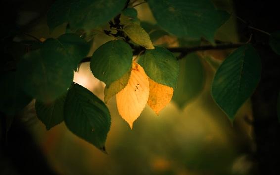 Обои Зеленые и желтые листья, веточки, осень