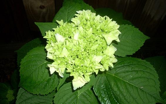 Обои Зеленые цветы гортензии