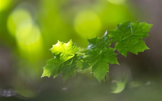 Обои Зеленые листья клена, боке, лето