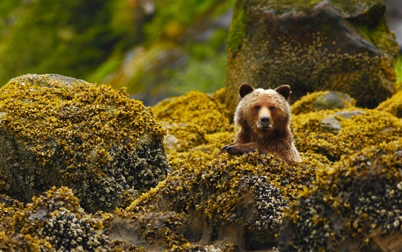 Wallpaper Grizzly, bear, Canada, British Columbia