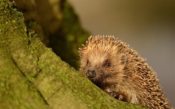 Wallpaper Hedgehog close-up, tree