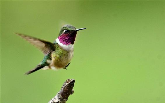 Papéis de Parede Colibri, vôo, asas, fundo verde