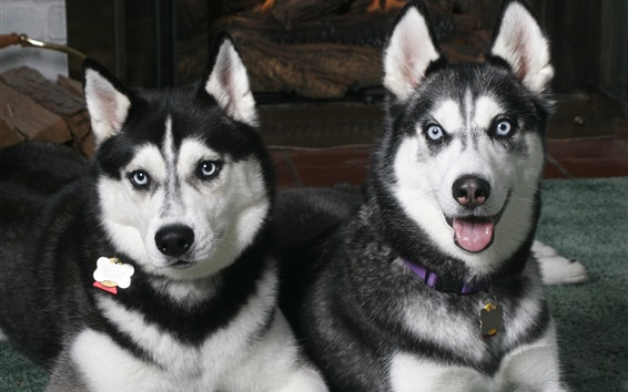 Wallpaper Husky dogs, front view