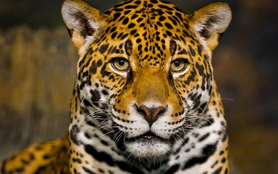 Papéis de Parede Vista dianteira do jaguar, rosto, predador