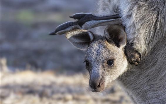 Wallpaper Kangaroo, cub, face, bag