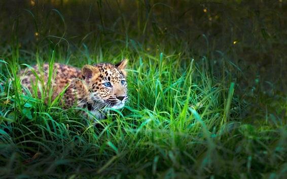 Обои Leopard cub, зеленая трава