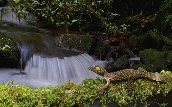 Wallpaper Lizard, gecko, stream, moss