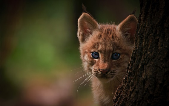 Wallpaper Lynx cub, tree, bokeh