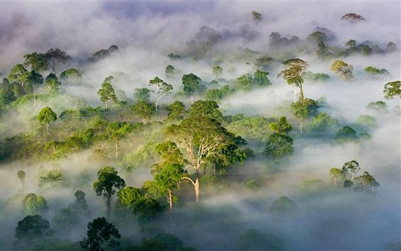 Обои Малайзия, Сабах, красивый природный ландшафт, лес, деревья, туман