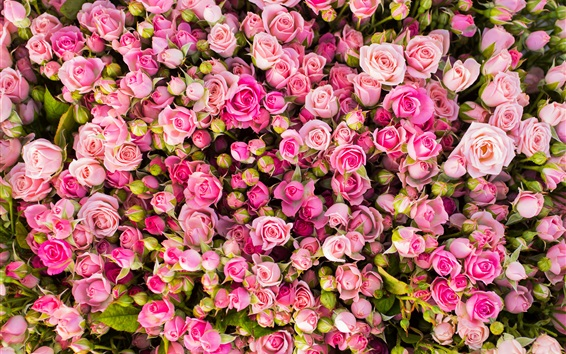 Wallpaper Many pink rose flowers