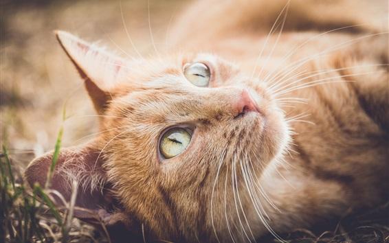 Wallpaper Orange cat rest, look up