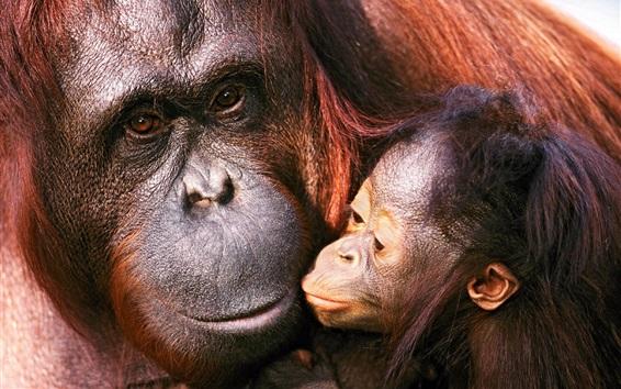 Papéis de Parede Orangotango feminino e bebê