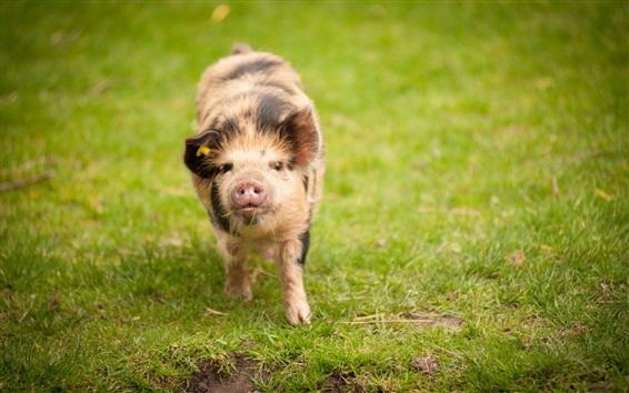 Wallpaper Pig walk on grass