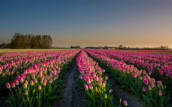 Wallpaper Pink flowers field, tulips, Netherlands