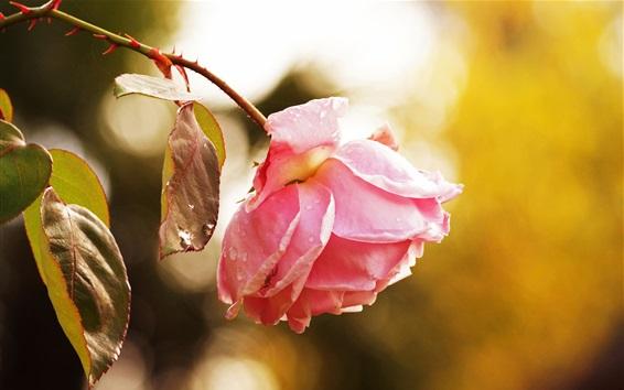 Papéis de Parede Rosa rosa, depois da chuva, gotas de água
