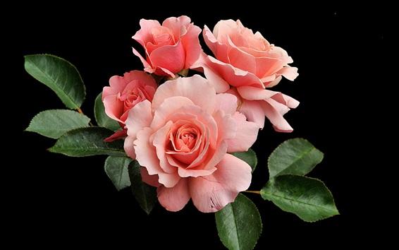 Wallpaper Pink roses, black background