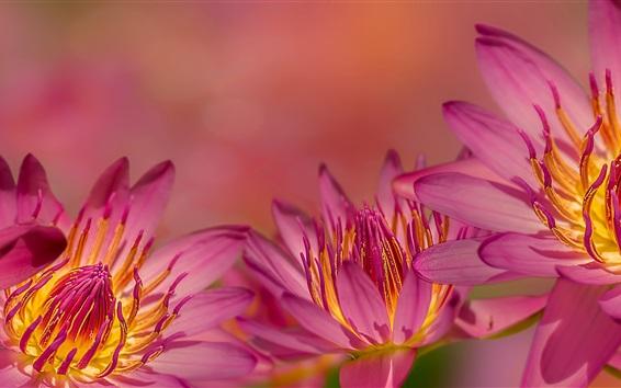 배경 화면 핑크 수련 꽃 매크로 사진