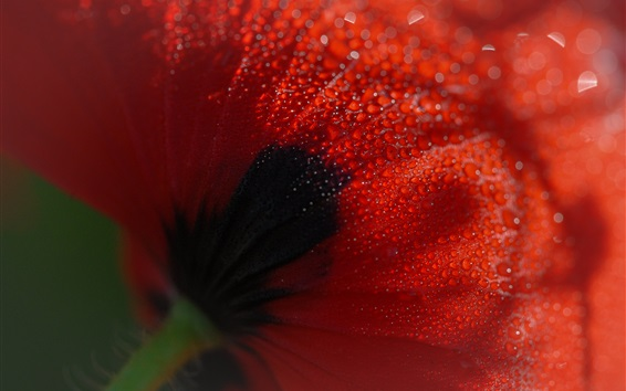 Wallpaper Poppy flower back view, many water drops