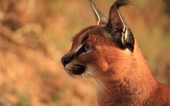 Wallpaper Predator, wild cat, lynx, face
