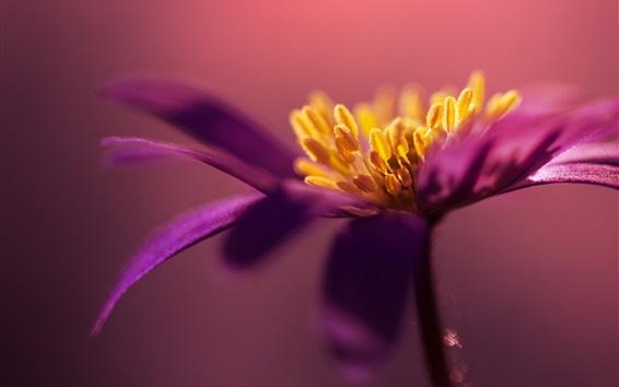 壁紙 紫の花びらの花マクロ写真、雌しべ