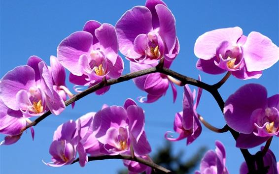 Papéis de Parede Purple phalaenopsis, céu azul