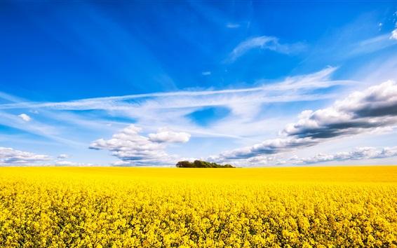Обои Рапсовое поле цветов, красивые пейзажи