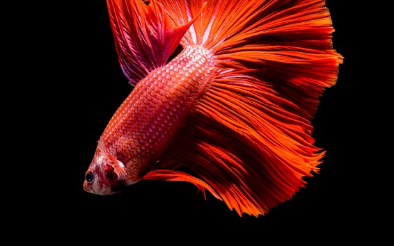 Wallpaper Red fish, black background