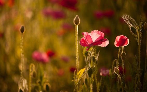 壁紙 赤い花、ケシ、光