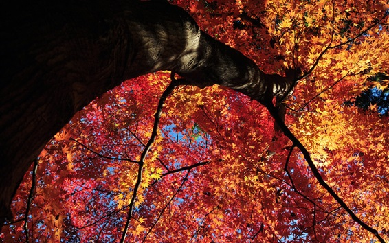 Wallpaper Red maple leaves tree, bottom view, autumn