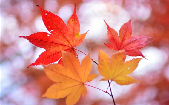 Обои Красные листья клена, веточки, размытый фон