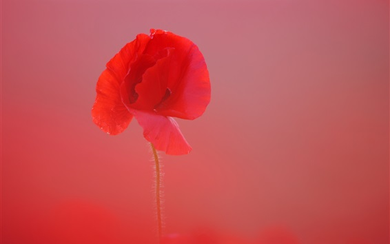 Wallpaper Red poppy close-up, blurry background