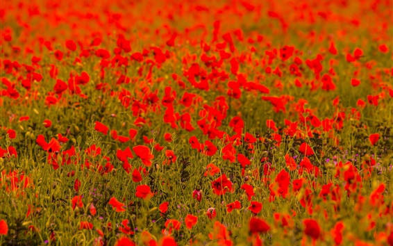 Wallpaper Red poppy flowers field, blurry